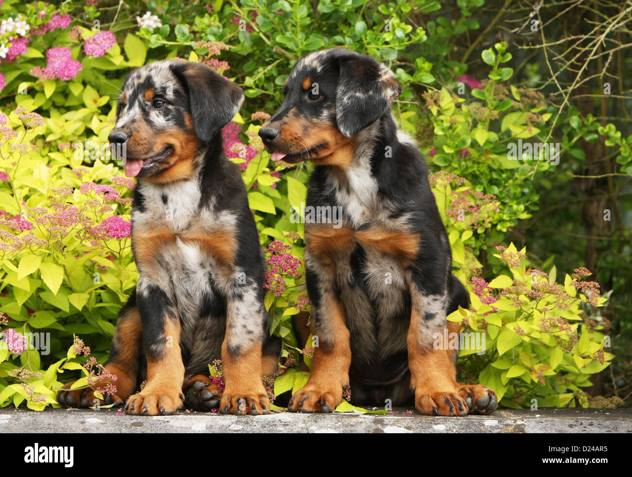 Dog Beauceron Berger De Beauce Two Puppies Harlequin Sitting On