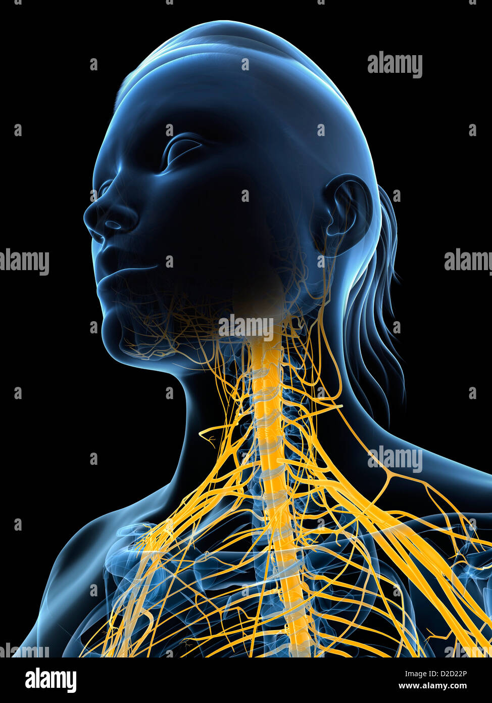 Female nervous system computer artwork head and shoulders - Stock Image