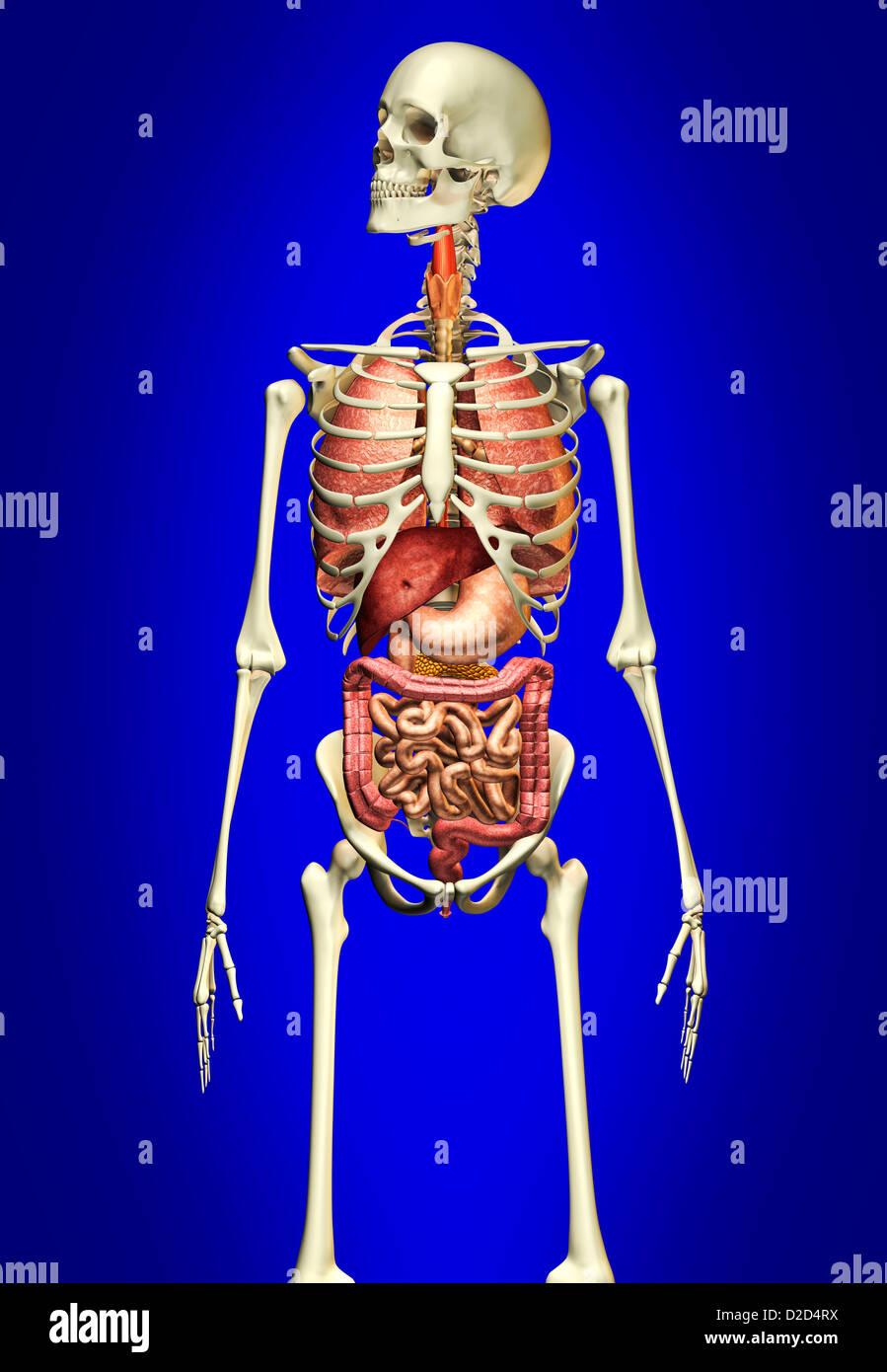 Human anatomy computer artwork - Stock Image