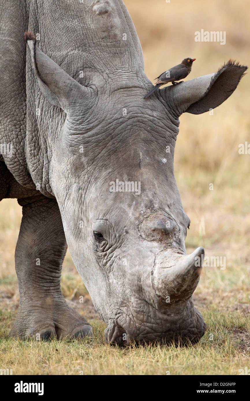 White Rhino grazing, Lake Nakuru Nationalpark, Kenya. - Stock Image