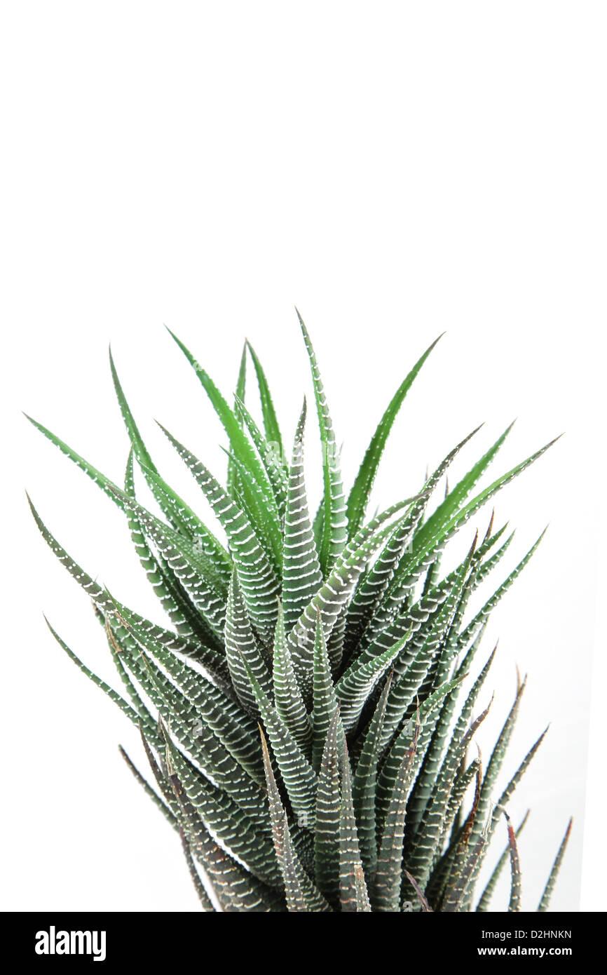 haworthia fasciata isolate on white background - Stock Image