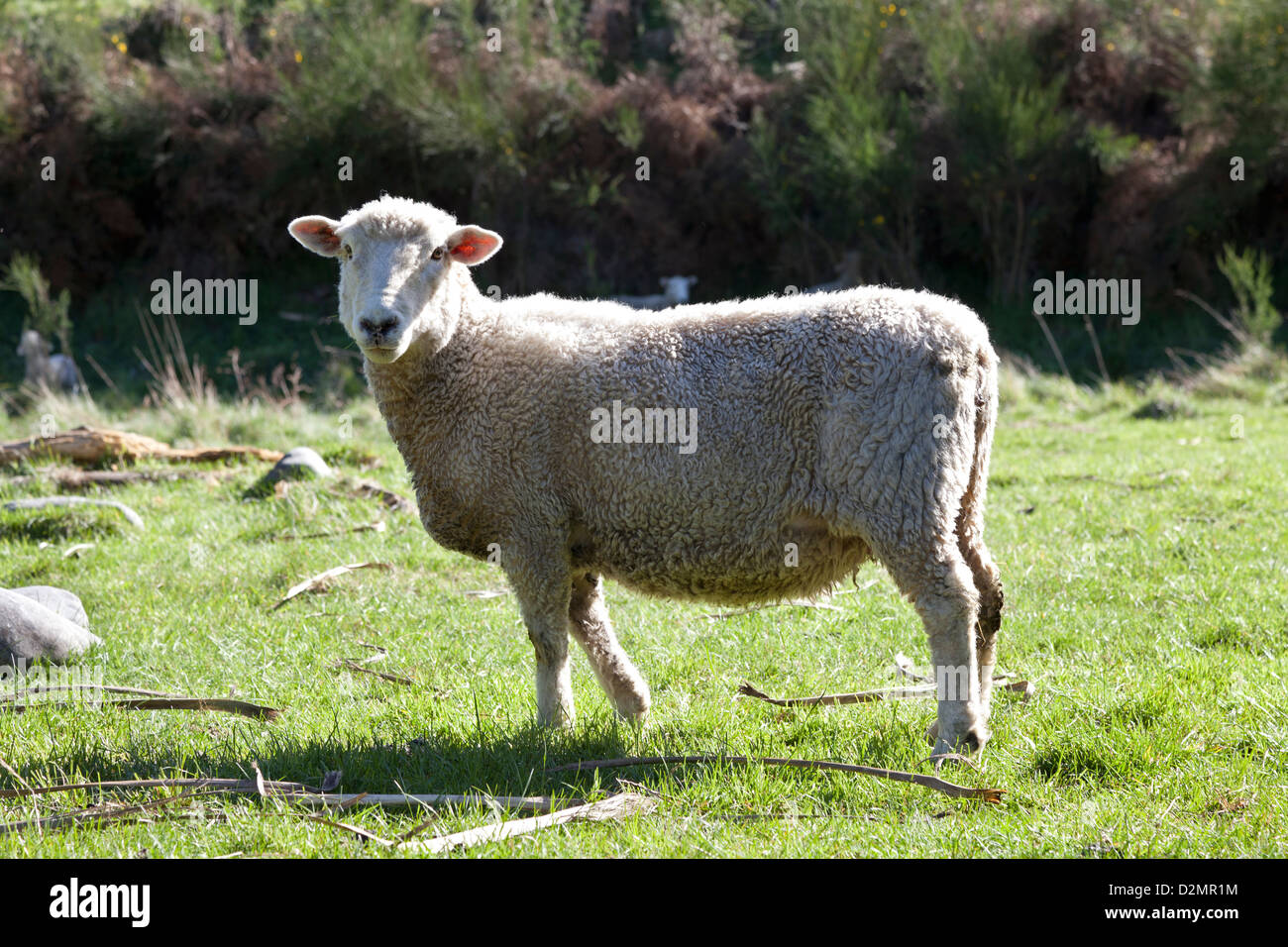 One single sheep in New Zealand - Stock Image