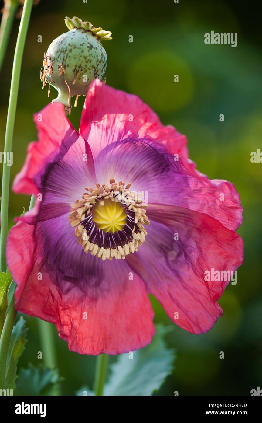 Papaver Somniferum Poppy Opium Poppy Pink Flower And Green Seed