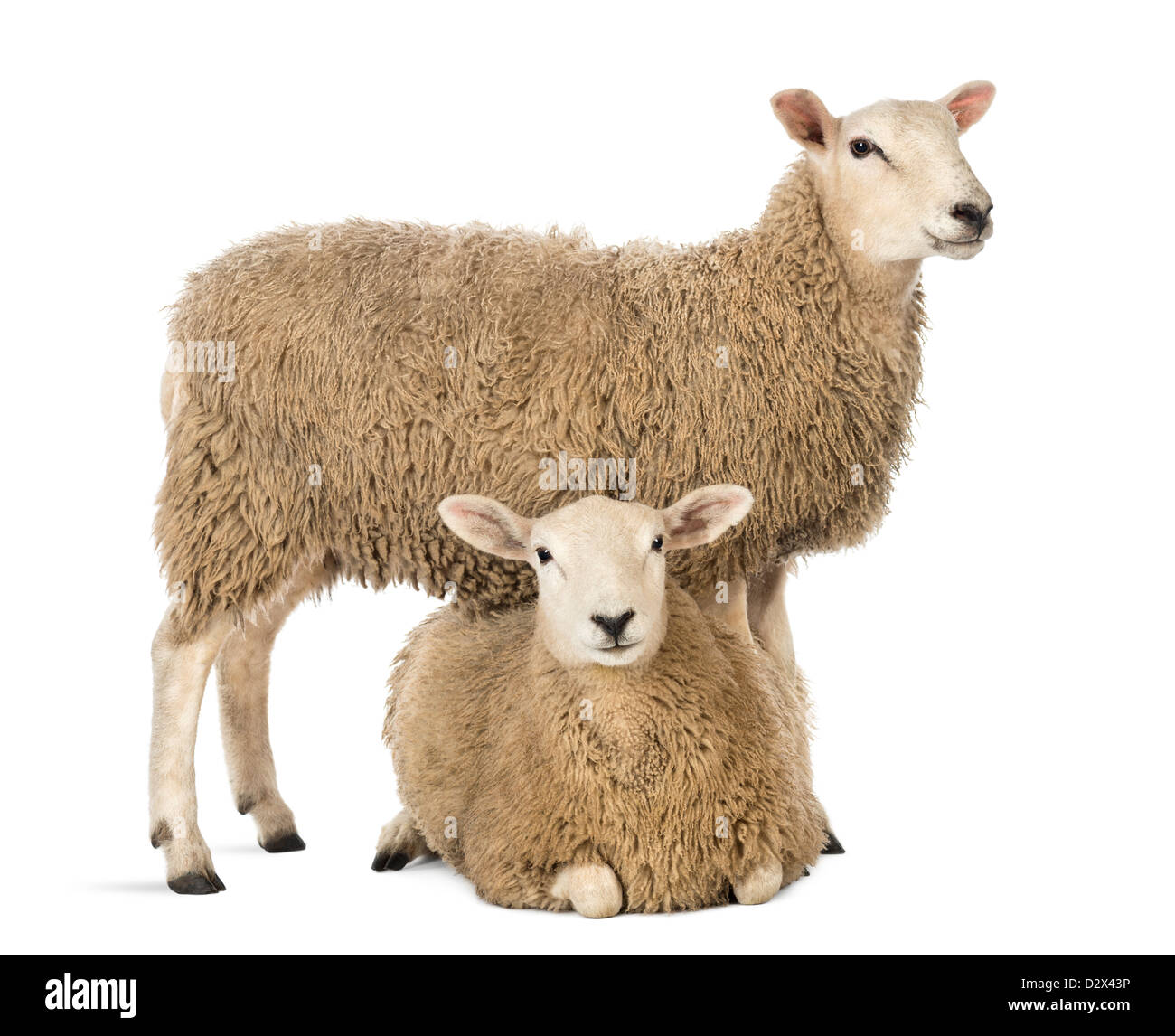 Sheep lying in front of a standing sheep in front of white background - Stock Image