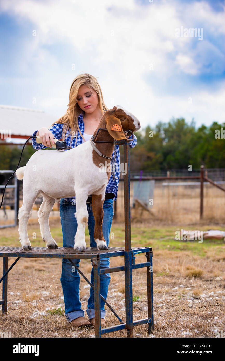 Female teenager trimming goat on a fitting stand at a Texas livestock farm - Stock Image