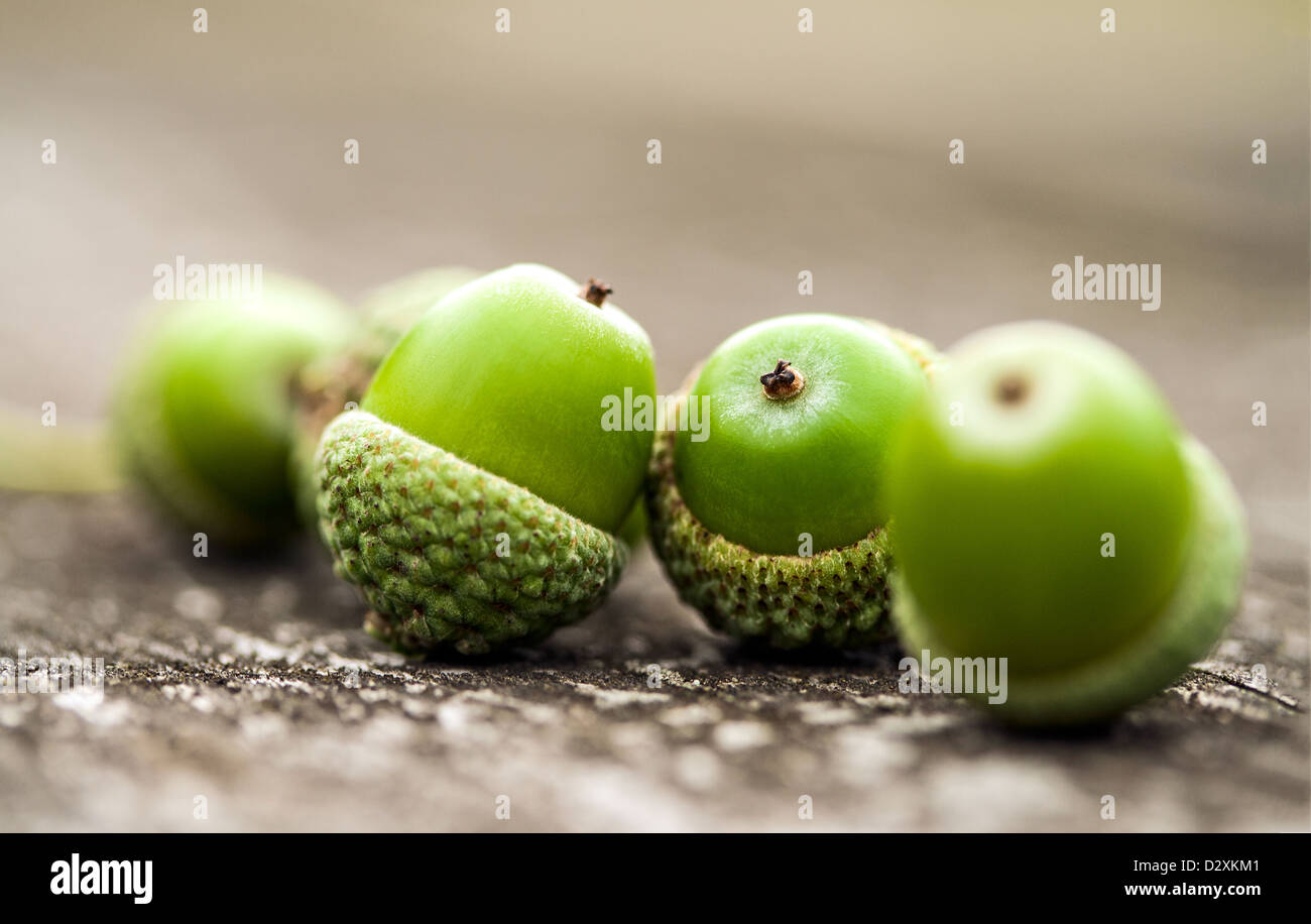 a-small-group-of-ripe-green-acorns-or-oa