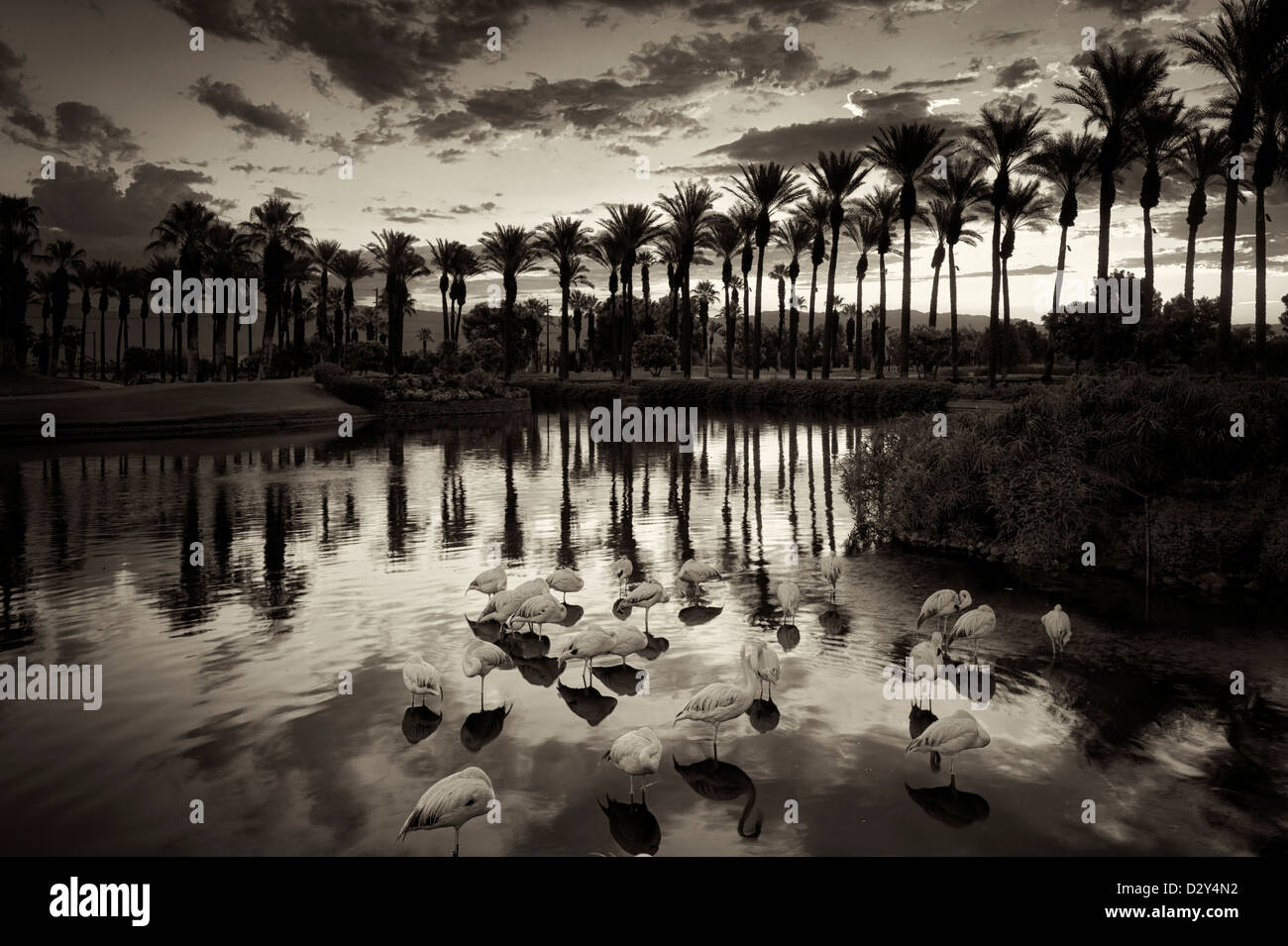 Flamingoes mostly sleeping in pond with sunrise at the Marriot Hotel. Palm Desert, California - Stock Image