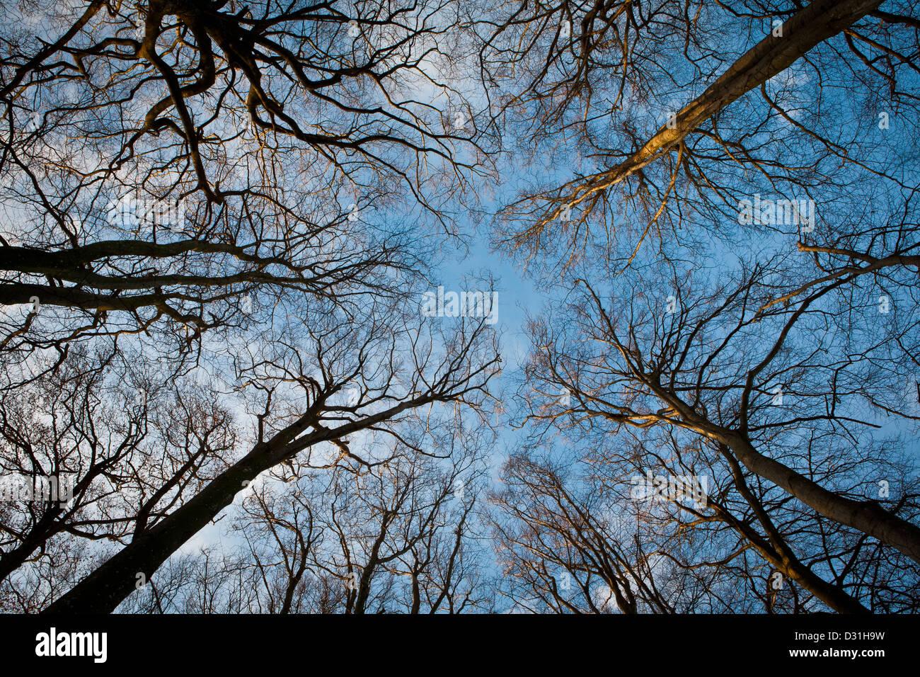 Beech trees in Telemarkslunden, Rygge kommune, Østfold fylke, Norway. - Stock Image