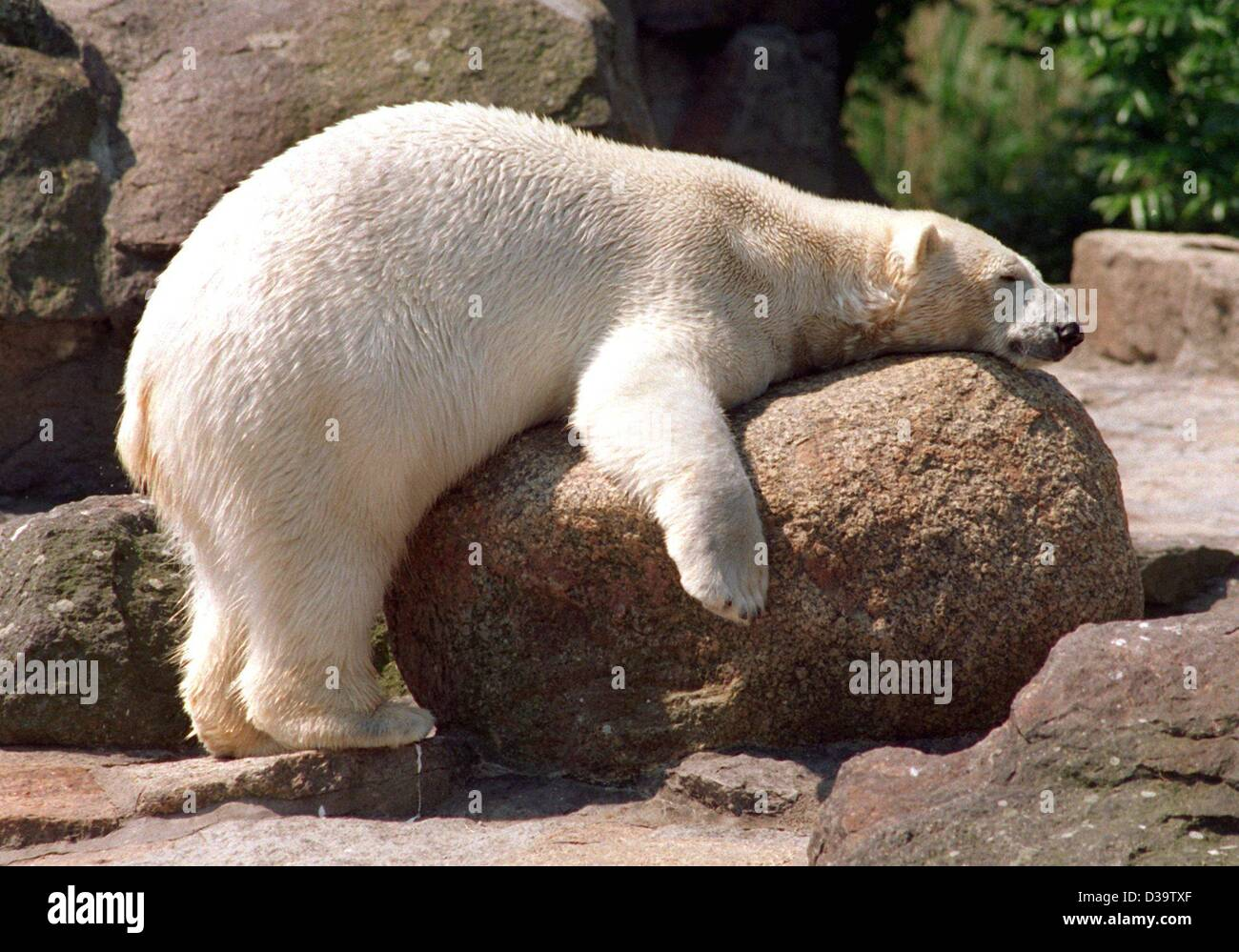 (dpa) - A polar bear is overcome by sleepiness and rests on a rock in its compound at the Berlin Zoo (filer of 2000). - Stock Image