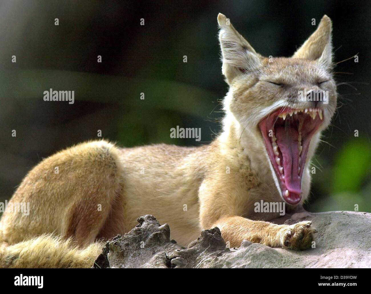 (dpa) - A little corsac, a prairie fox, is overcome by sleepiness and yawns at the Saarbruecken Zoo (filer of 2000). - Stock Image
