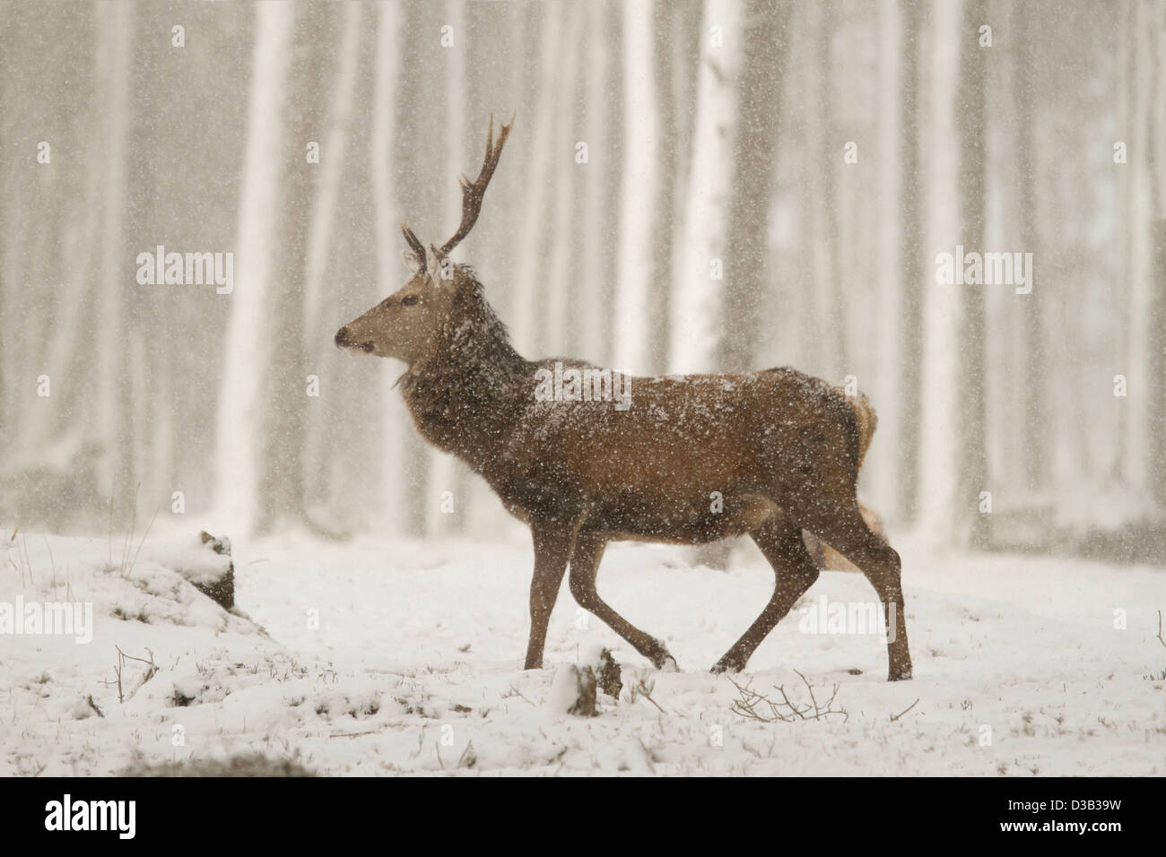 Red deer stag in a blizzard, Scottish Highlands - Stock Image