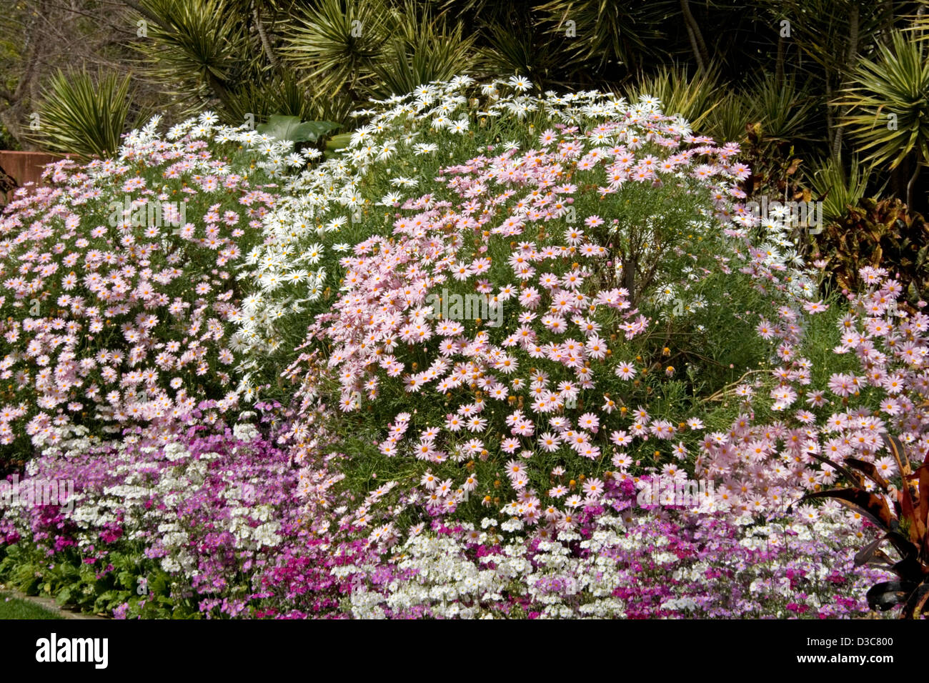 Mounds Of Pink And White Flowers And Foliage Of Osteospermum Daisies