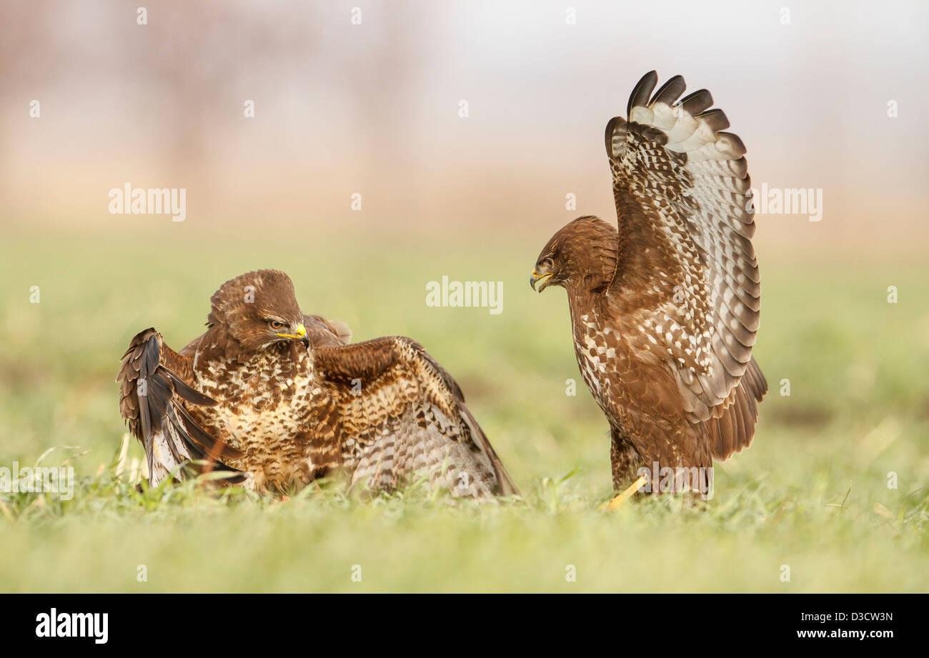 Common Buzzards fight - Stock Image