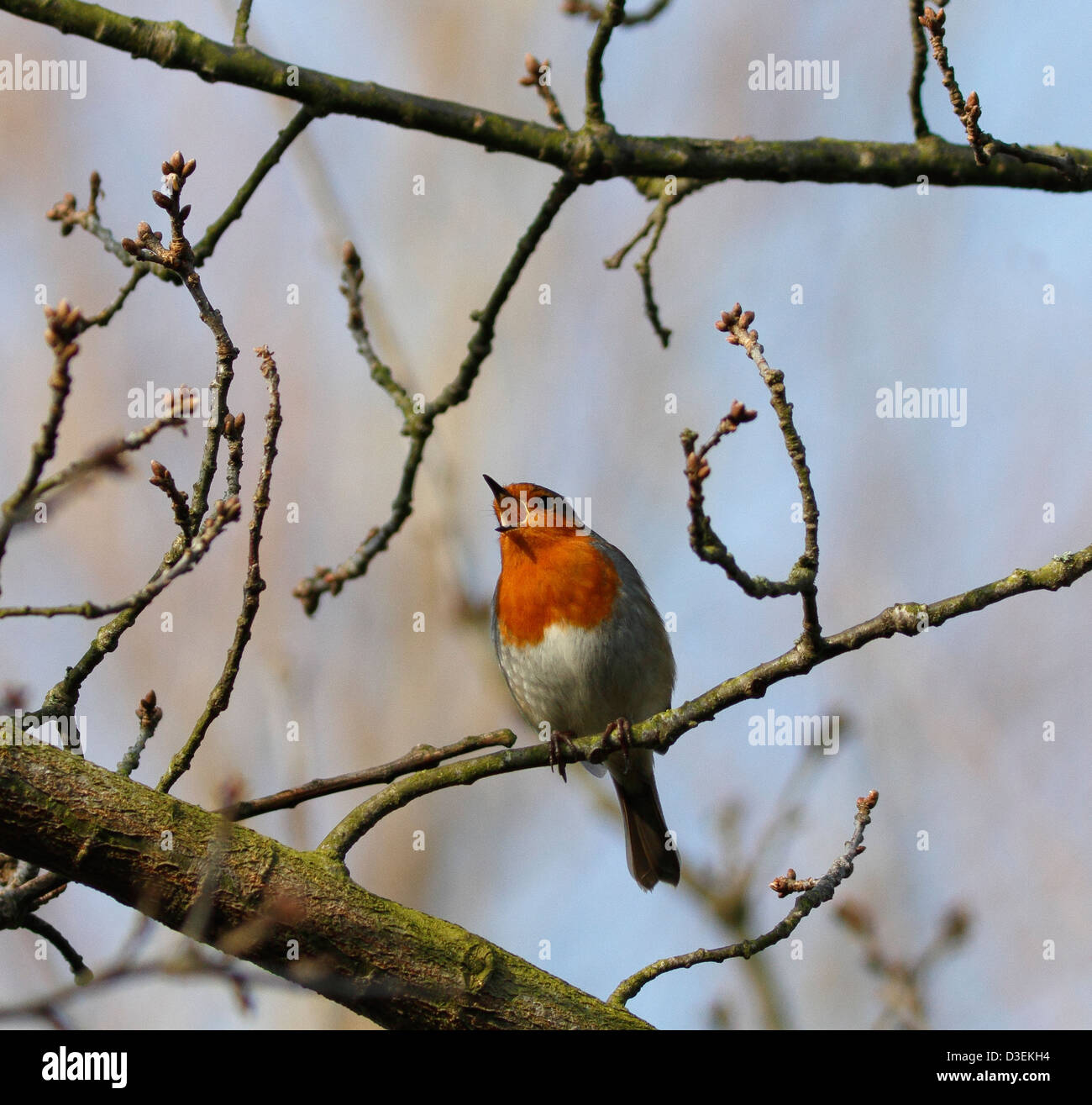 robin-redbreast-singing-in-tree-D3EKH4.jpg