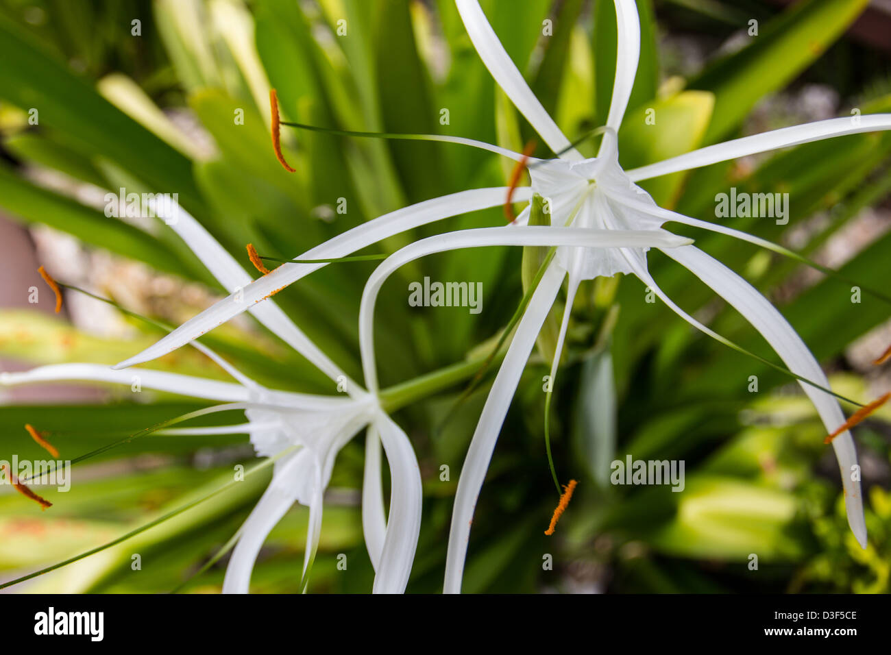 Caribbean spider lily tropical flower stock photo 53808622 alamy caribbean spider lily tropical flower izmirmasajfo Images