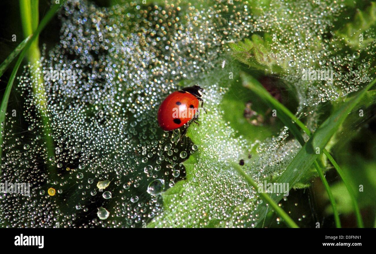 (dpa) - A ladybug is captured in a spider web covered with dew drops in Heckendalheim, Germany, 16 May 2003. As - Stock Image
