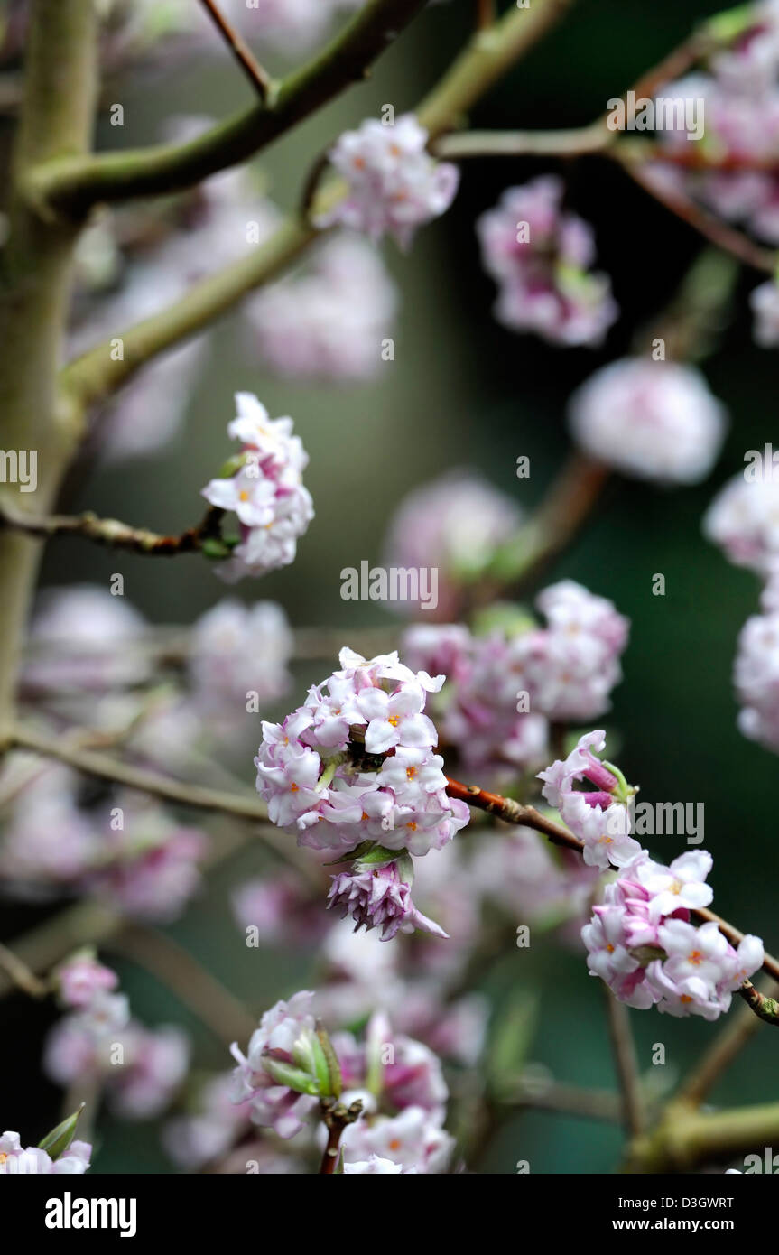 Fragrant daphne stock photos fragrant daphne stock images alamy daphne bholua closeup plant portraits white pale pink flowers scented fragrant perfumed blossom shrubs winter mightylinksfo Image collections