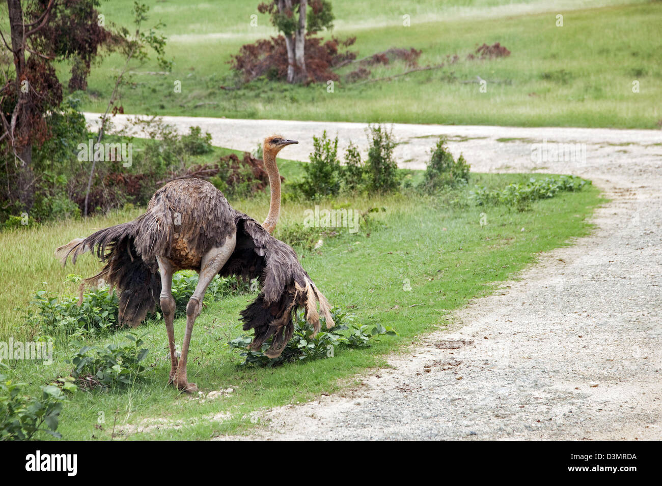Common Ostrich (Struthio camelus) female on the island Cayo Saetia / Cayo Sae-Tia, Cuba, Caribbean Stock Photo