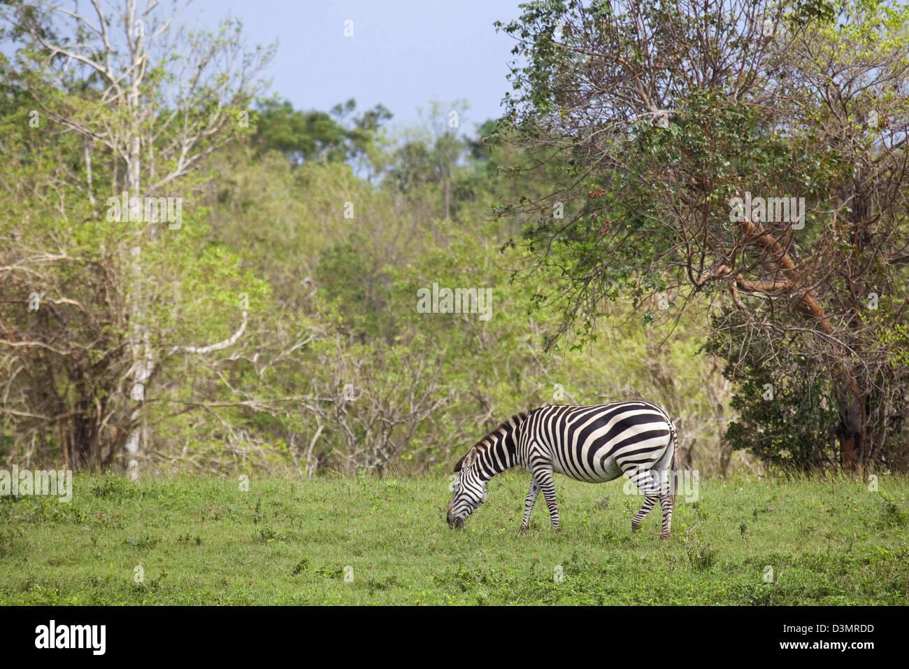 Plains zebra (Equus quagga / Equus burchelli) grazing on the island Cayo Saetia / Cayo Sae-Tia, Cuba, Caribbean Stock Photo