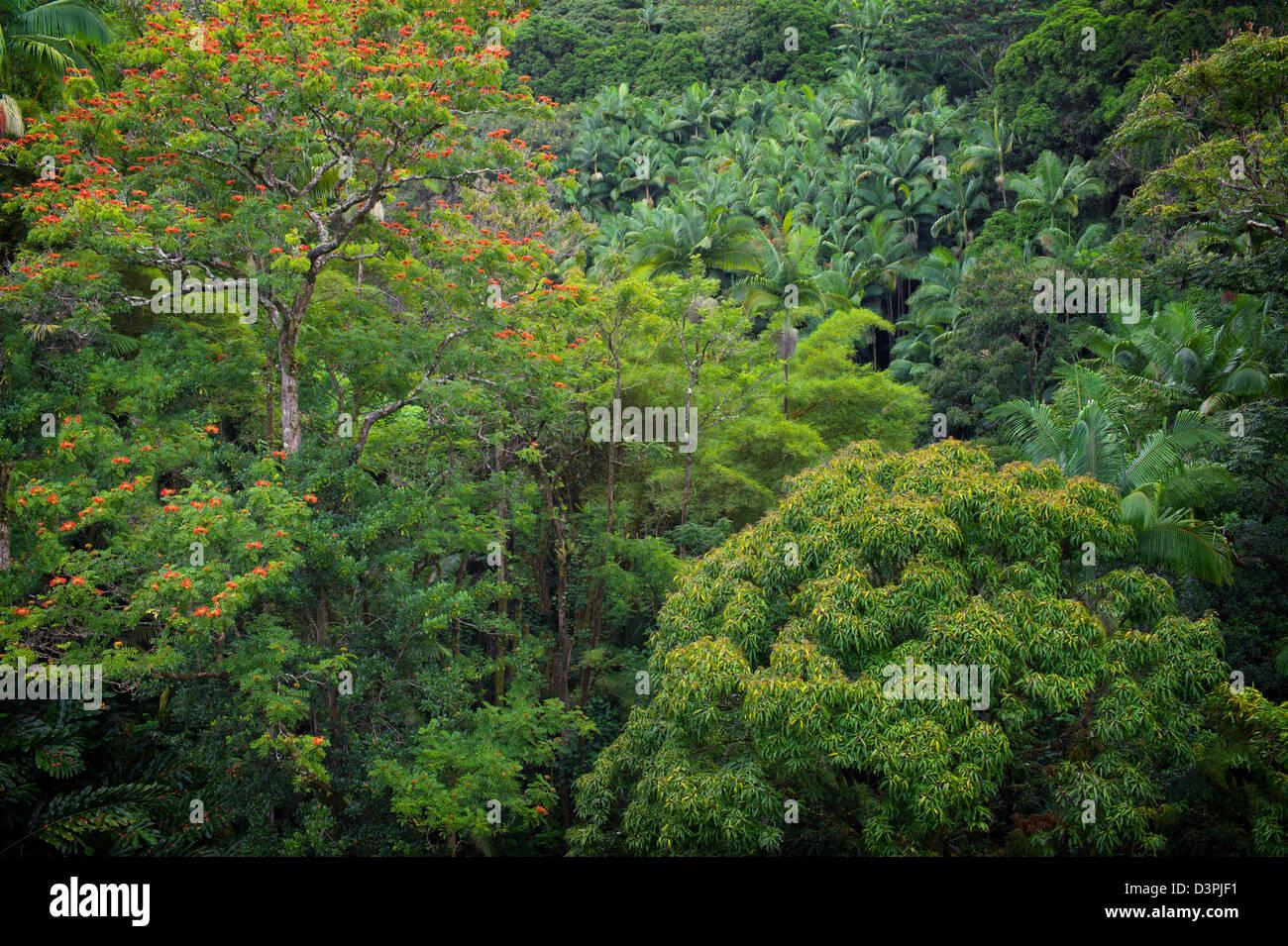 Rainforest With African Tulip Tree In Bloom Hanaunau Coast Hawaii