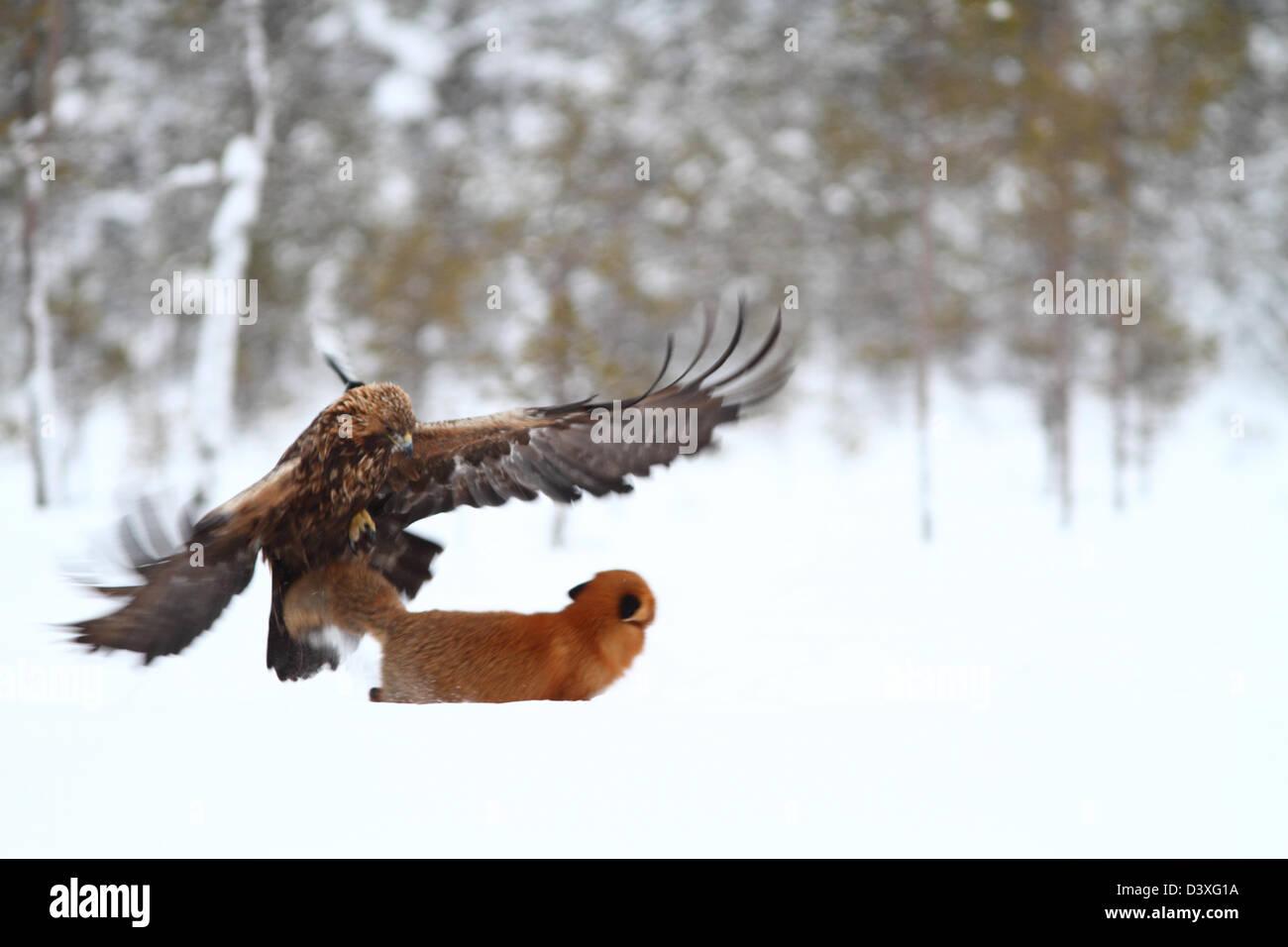 golden-eagle-aquila-chrysaetos-attacking