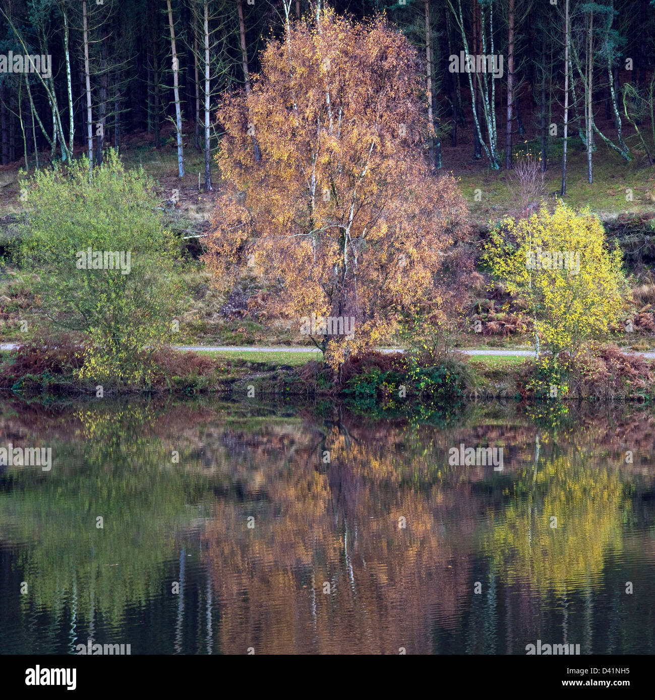 Stunning autumnal hues tints and colour reflected in Fair Oak pools, on Cannock Chase Area of Oustanding Natural - Stock Image