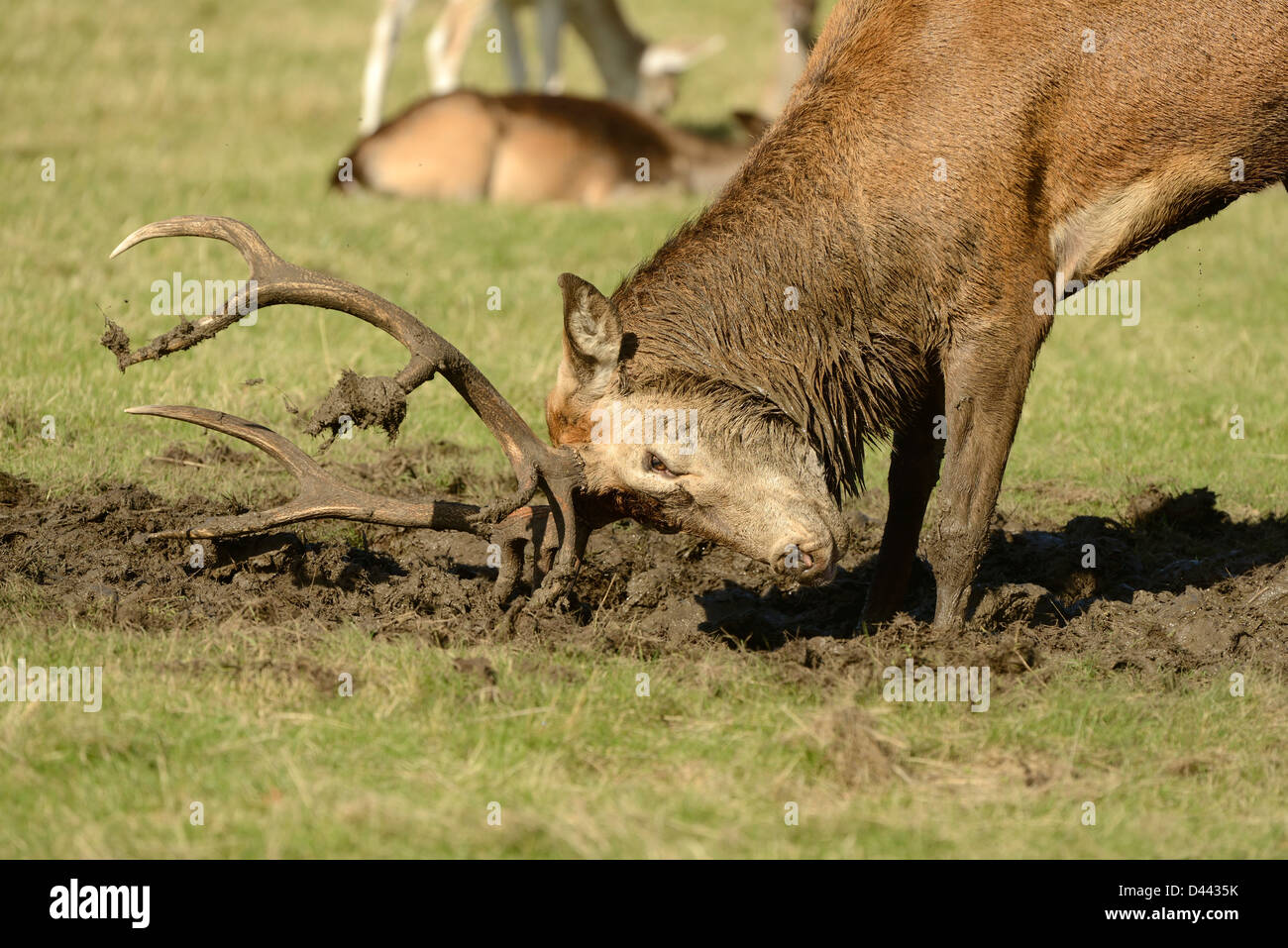 Red Deer (Cervus elaphus) stag covering antlers in mud during the rut, Richmond Park, England, October - Stock Image