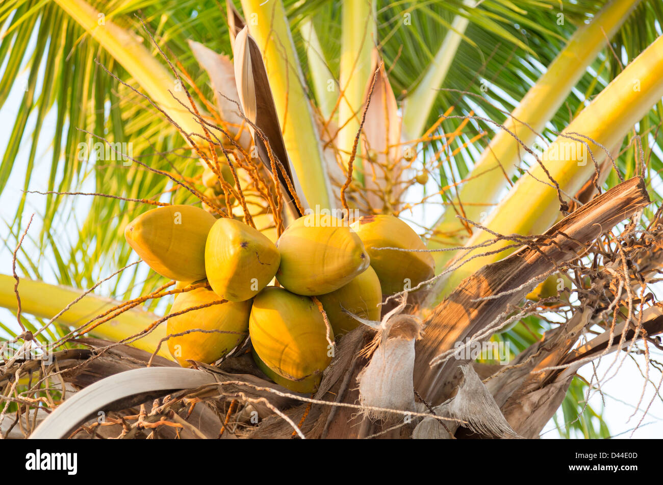 group of yellow coconut fruits in heart of palm tree among fronds