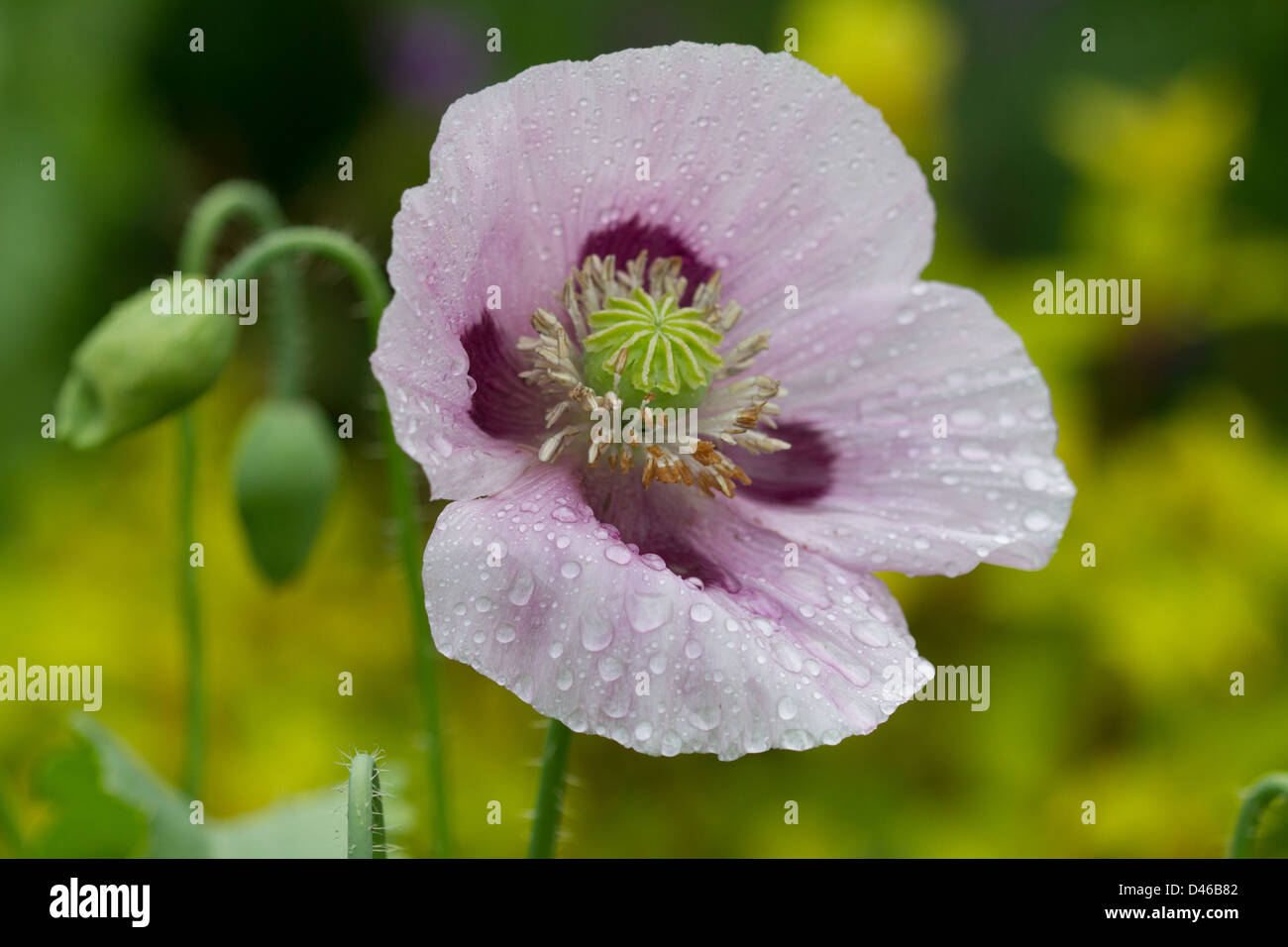 Purple and lilac opium poppy flower in garden in england stock photo purple and lilac opium poppy flower in garden in england mightylinksfo Gallery