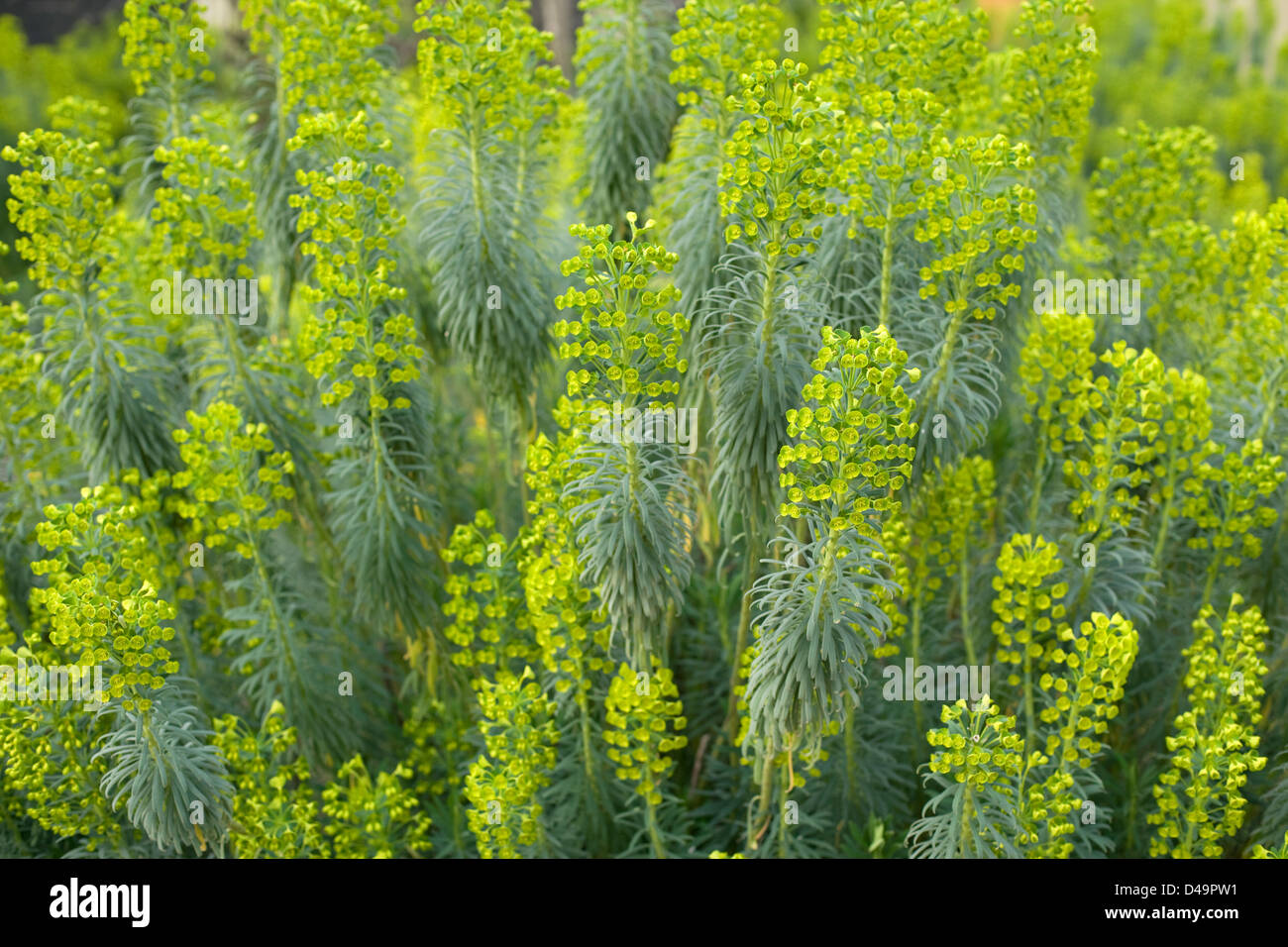 A Bush Of Yellow Desert Flowers In Bloom Stock Photo 54305245 Alamy