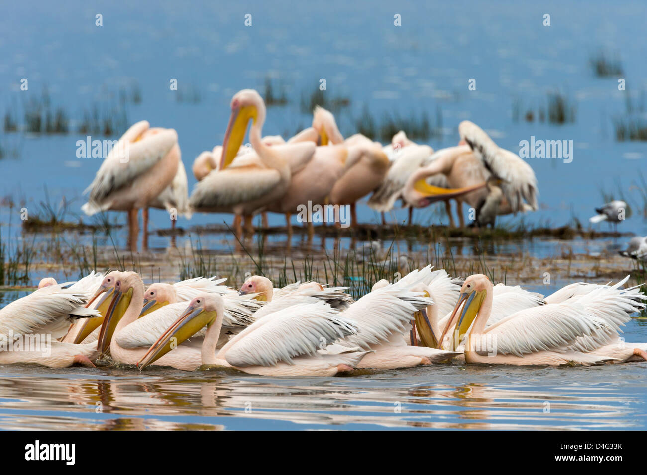 Great white pelicans (Pelecanus onocrotalus), Lake Nakuru National Park, Kenya, September 2012 - Stock Image
