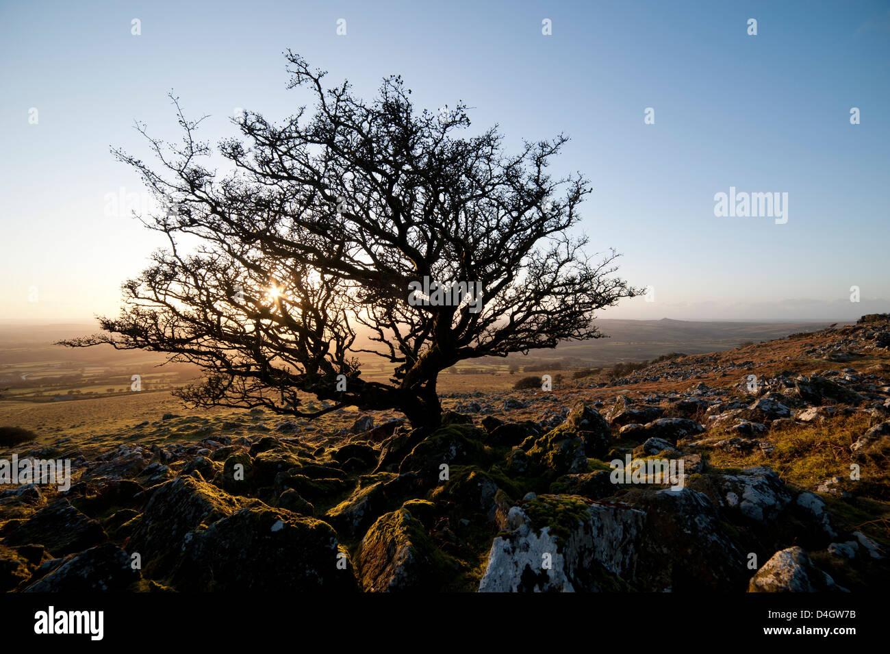 Stunted tree on Dartmoor, Devon, England, UK - Stock Image