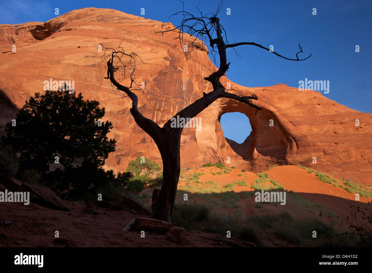 Dead juniper tree frames Ear of the Wind Arch, Monument Valley Navajo Tribal Park, Utah, USA - Stock Image