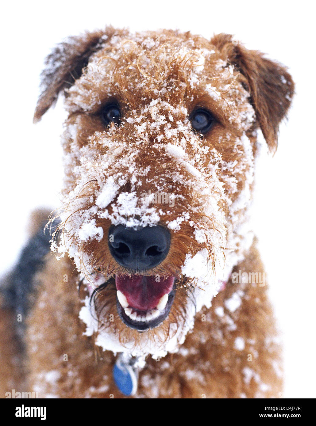 Portrait of Airedale terrier with snow on his face in winter. Stock Photo