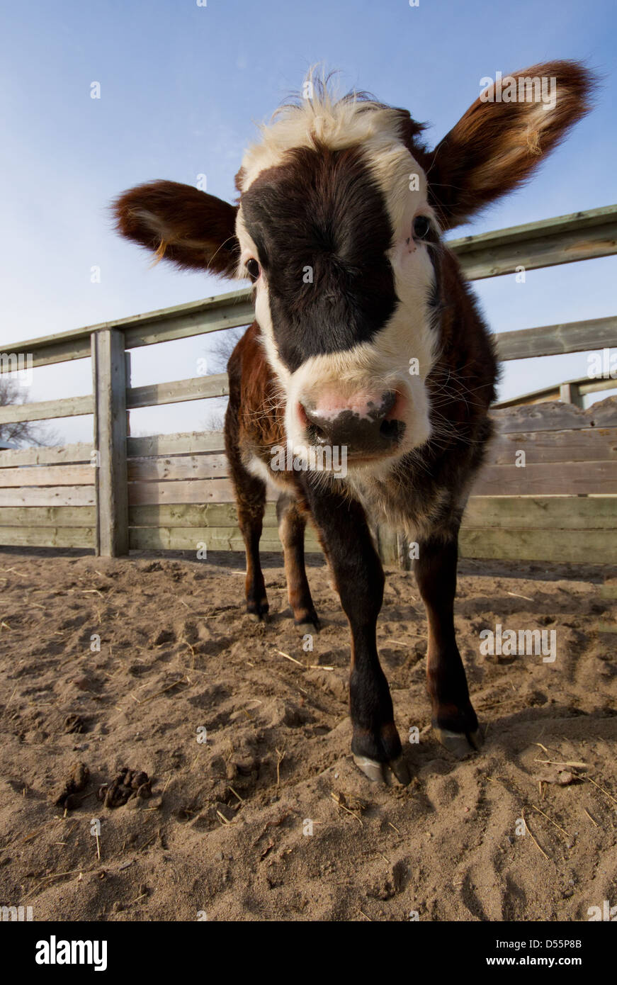 Funny cow portrait with wide angle. - Stock Image