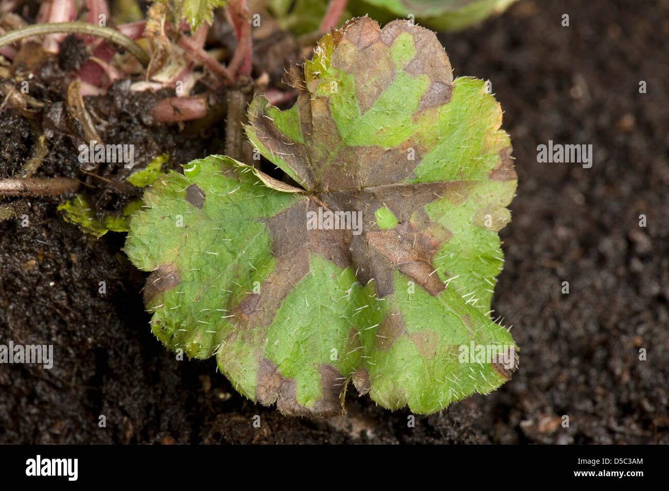 Foliar nematode, Aphelenchoides spp, angular leaf spotting on an ornamental anemone plant leaves - Stock Image