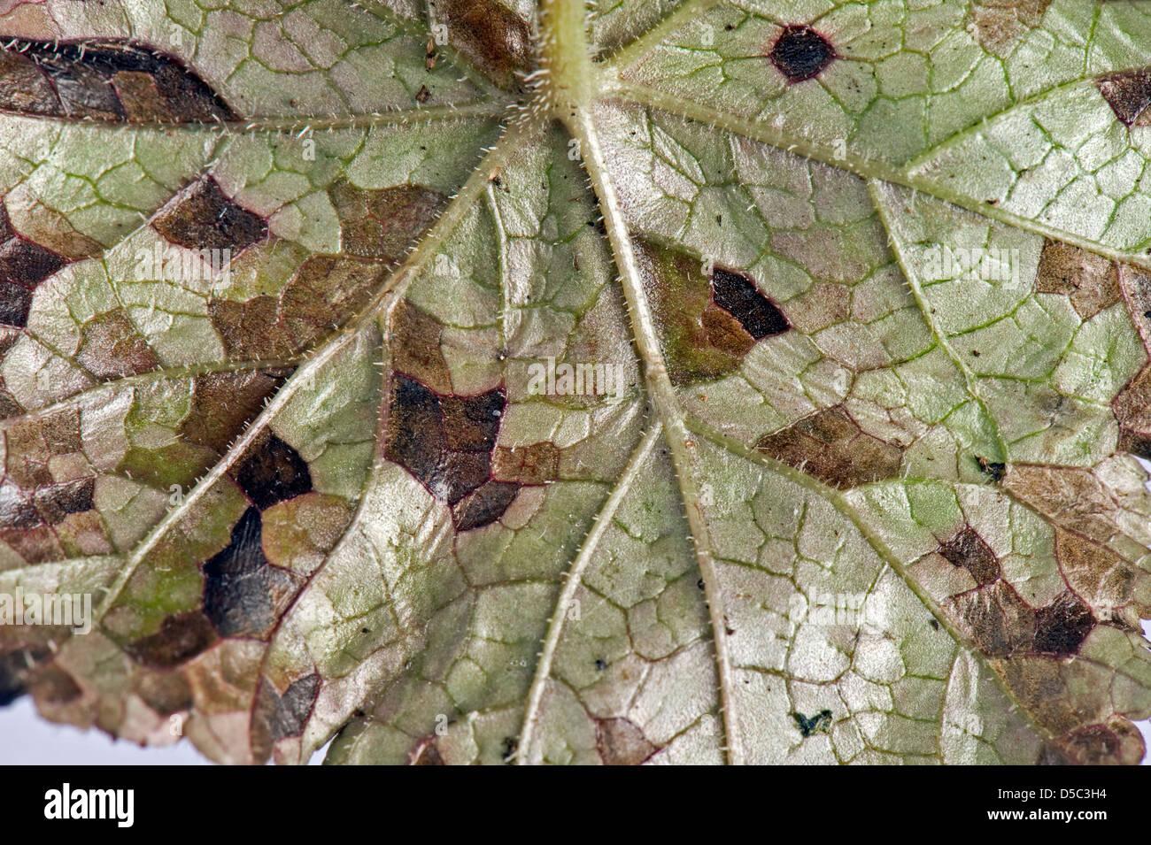Foliar nematode, Aphelenchoides spp, angular leaf spotting on an ornamental anemone plant leaf underside - Stock Image