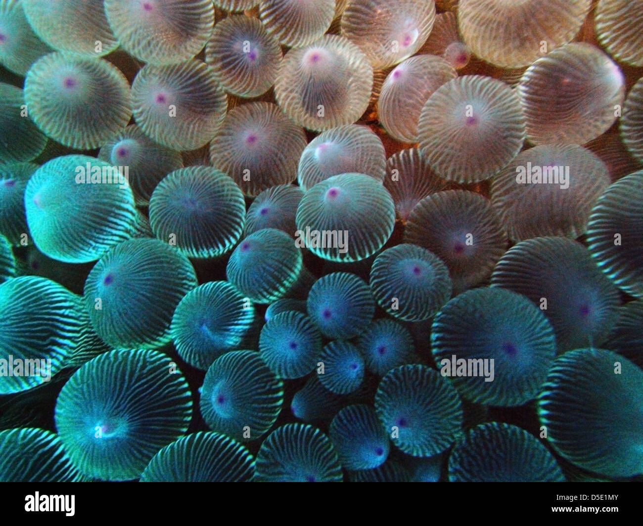 Detail of anemone tentacles, Admiralty Islands, Lord Howe Island Marine Park, Australia Stock Photo