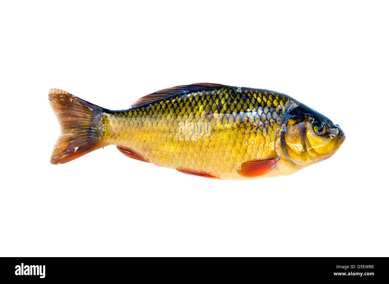 How to catch a crucian carp on a float rod - advice from anglers 62
