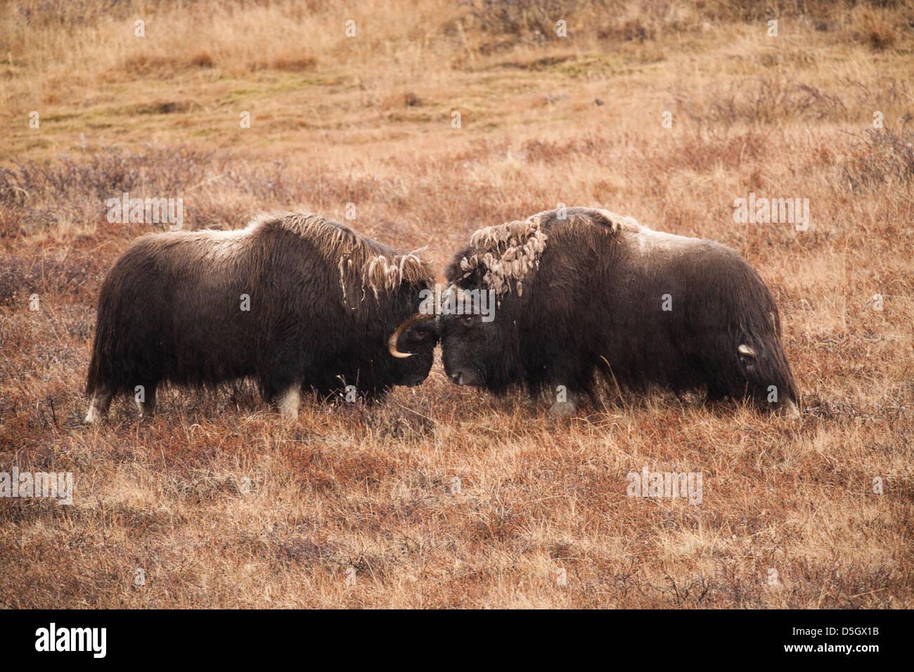 Musk Oxen, two bulls, sparring, Kangerlussuaq, Greenland Stock Photo