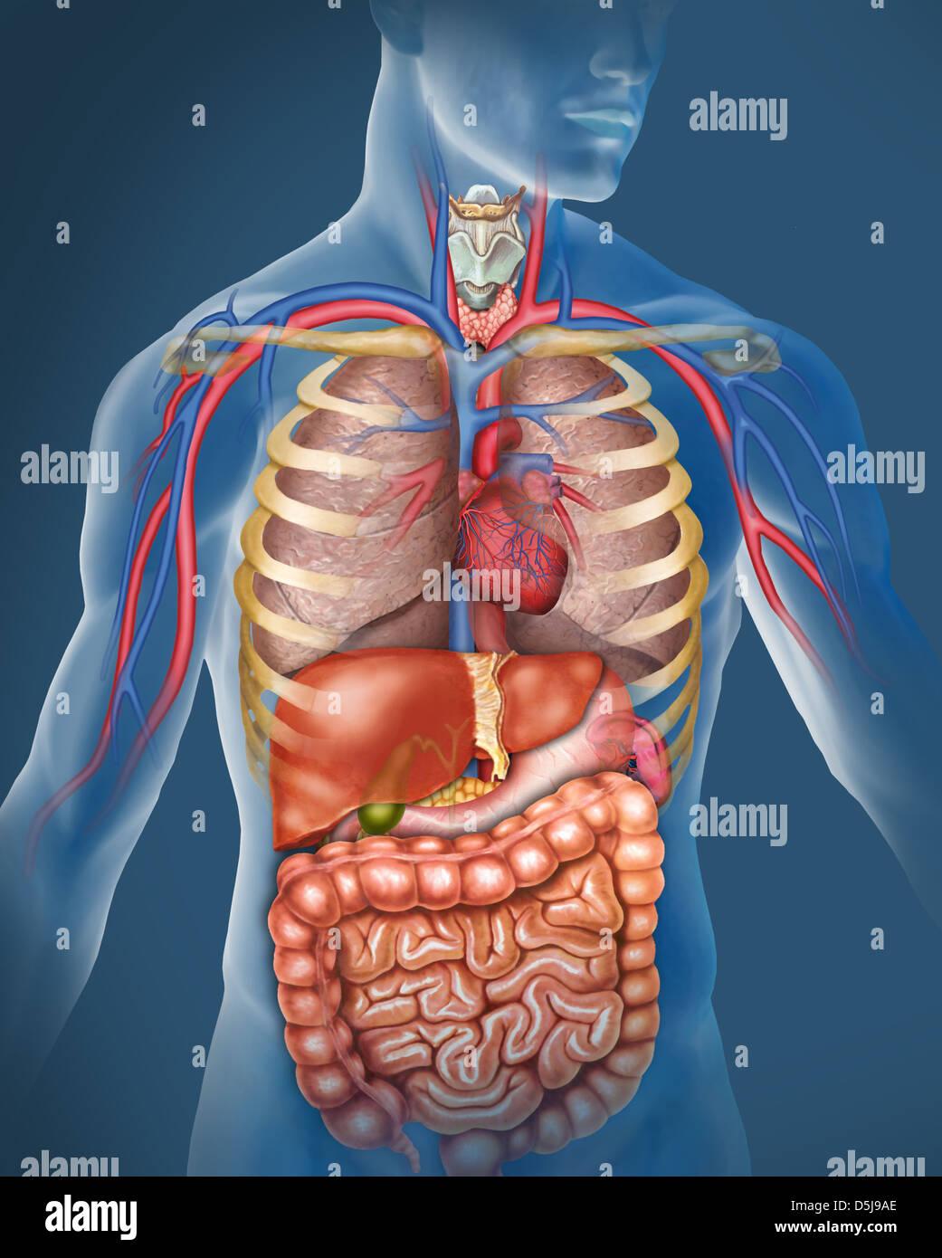 anatomía del cuerpo humano. Ilustración compuesta por el sistema ...