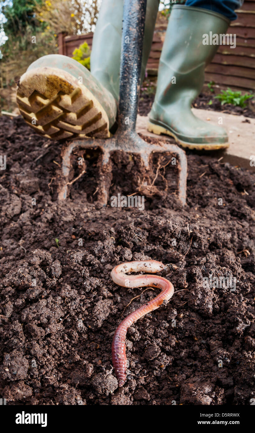 Earthworm dug out of the ground by a gardener - Stock Image