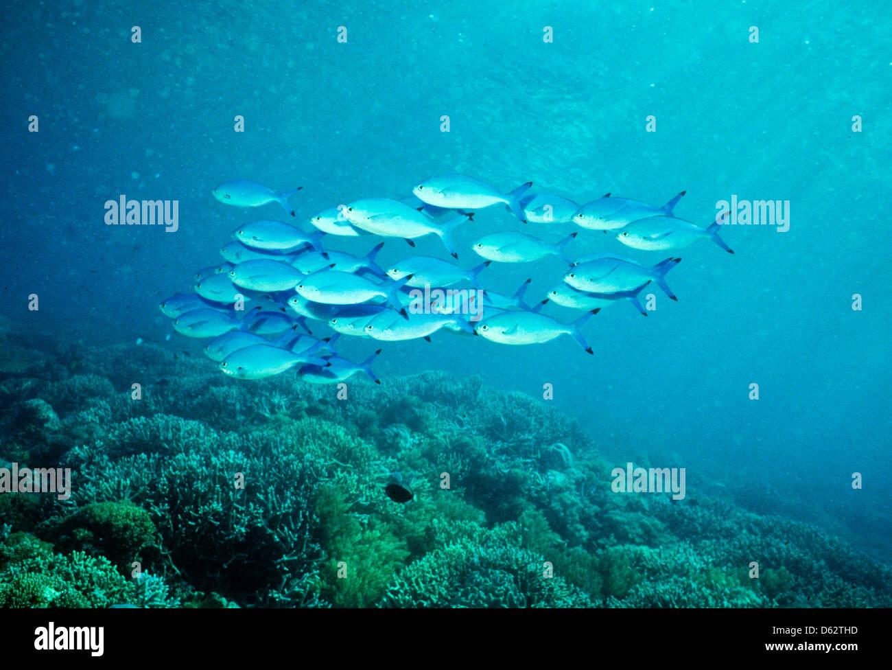shoals of blue cisios sipadan may 1992 underwater slide stock photo