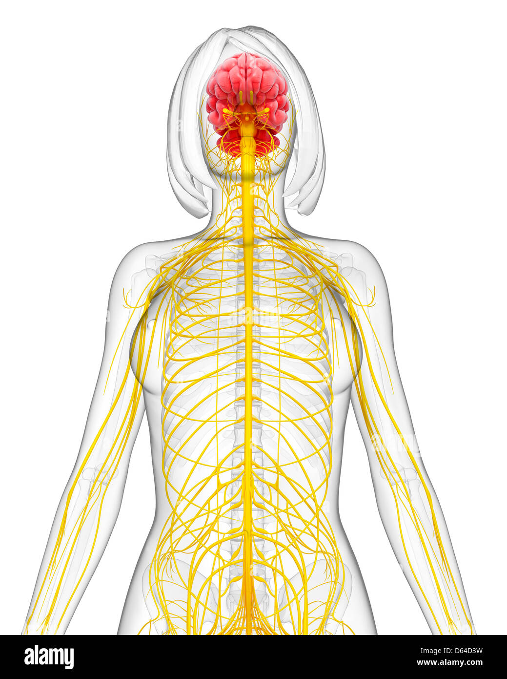 Female nervous system artwork stock photo 55417149 alamy female nervous system artwork ccuart Images