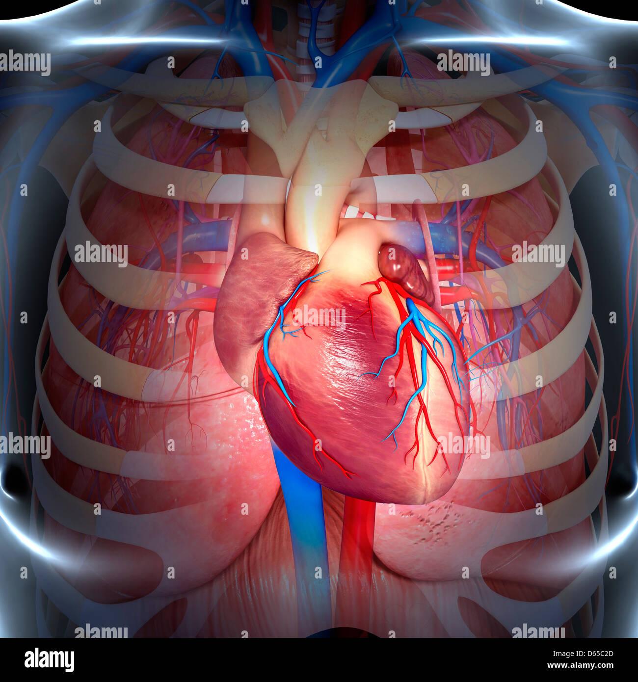 Chest anatomy, artwork Stock Photo: 55438277 - Alamy