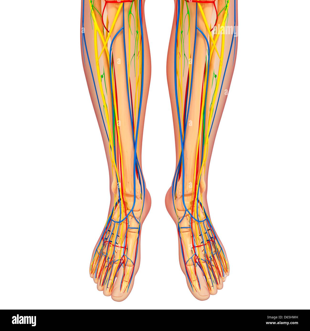 Lower Body Anatomy Artwork Stock Photo 55442845 Alamy