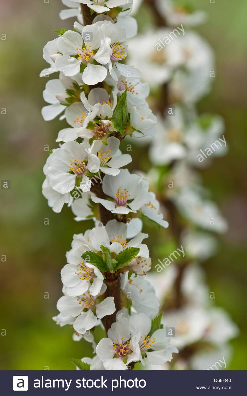 Nanking Cherry Prunus Tomentosa Spring Flower Shrub White April