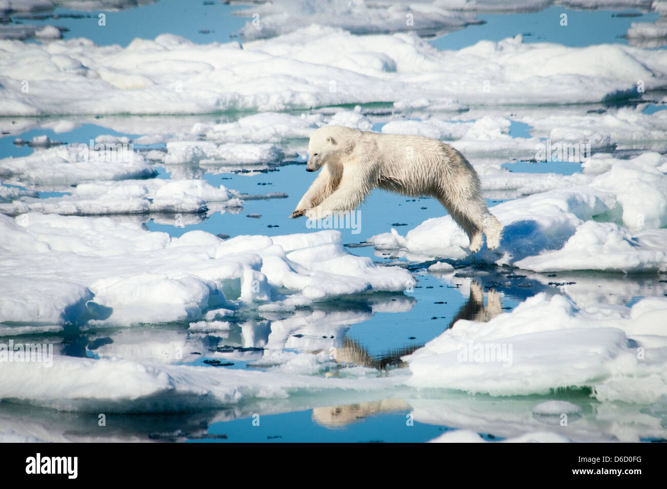 Polar Bear, Ursus maritimus, leaping over melting ice in the Olgastretet Pack Ice, Svalbard Archipelago, Norway - Stock Image