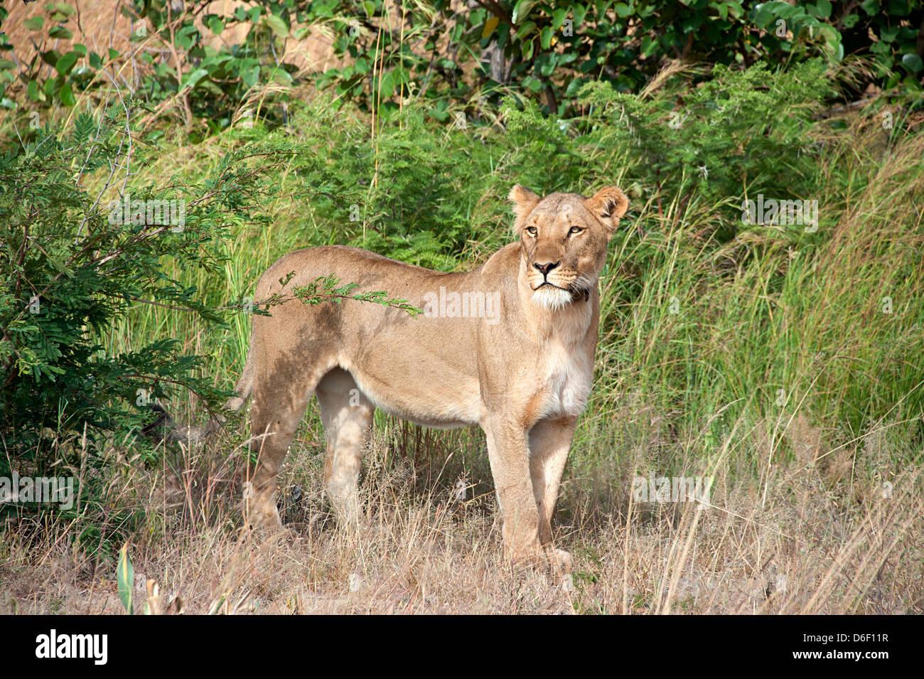 African lion surveys the Savannah in Antelope Park, Zimbabwe. - Stock Image