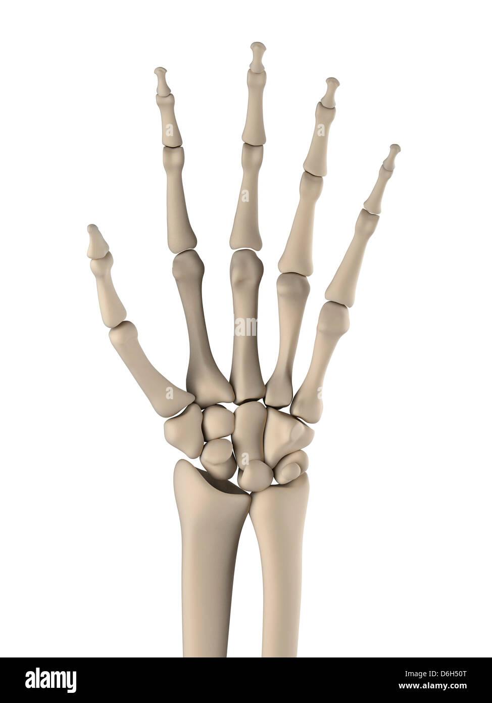 Hand Bones Artwork Stock Photo 55696168 Alamy